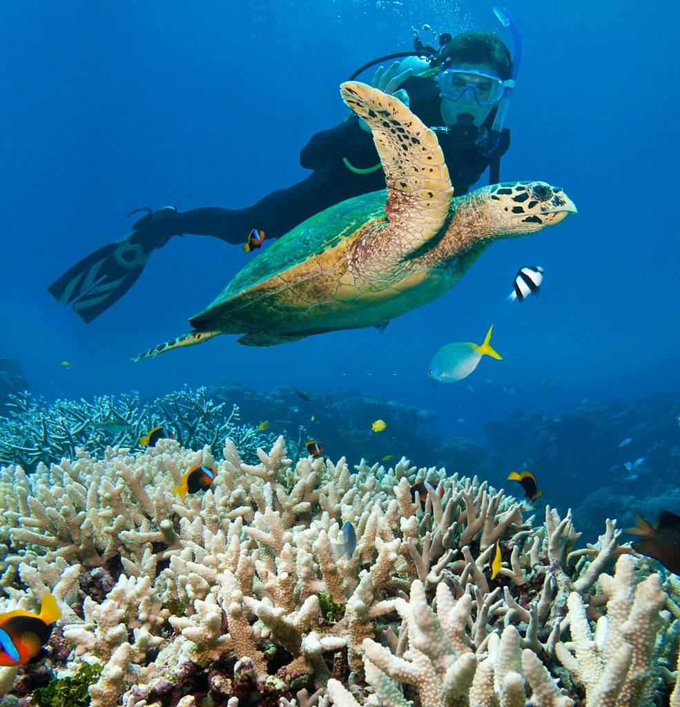 green sea turtle Australia